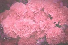 L'oeillet rose fleurit, vintage foncé modifié la tonalité, foyer sélectif mou Photos stock