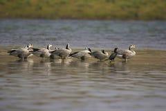L'oie à tête de barre, indicus d'Anser est une oie Rivière de Chambal, Ràjasthàn, Inde image stock