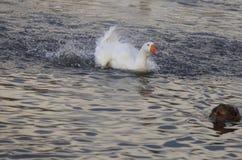 L'oie blanche nage dans un étang Image stock