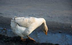 L'oie boit l'eau du magma à la ferme photo libre de droits
