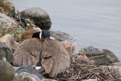 L'oie canadienne s'étendant sur le nid le long des eaux affilent au printemps Image libre de droits