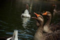 l'oie dans les cris perçants d'étang ouvrent son bec Image libre de droits