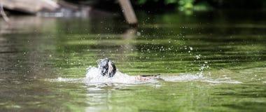 L'oie de Canada se baigne avec la vigueur en rivière d'Ottawa image stock