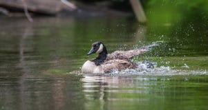 L'oie de Canada se baigne avec la vigueur en rivière d'Ottawa photographie stock libre de droits
