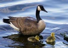 L'oie de mère avec deux enfants Images libres de droits