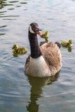 L'oie de sifflement et ses oisons flottent sur un lac Images stock