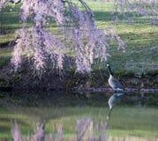Réflexions de fleurs de cerisier et oie du Canada Images stock