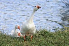 L'oie est venue au rivage de l'étang et secoue les plumes Images libres de droits