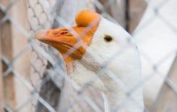 L'oie a fermé à clef dans une cage en parc Photos libres de droits