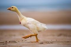 L'oie marche le long de la plage, oie de main, animaux drôles Images stock