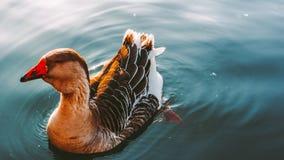 L'oie nage dans le lac images stock
