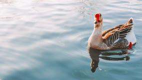 L'oie nage dans le lac photo stock