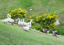 L'oie noire expulsent le combat blanc d'oie de groupe Photographie stock