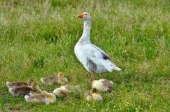 L'oie protègent ses petits bébés Image stock