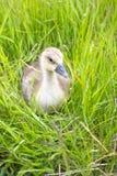 L'oie se reposant dans une herbe Photo stock