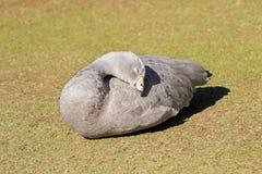 L'oie stérile d'île de cap avec le plumage gris pâle, jaune cere le soleil image libre de droits