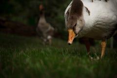 l'oie sur la pelouse pince l'mauvaise herbe Photographie stock libre de droits
