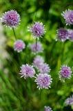 L'oignon de Schoenoprasum d'allium avec la fleur pourpre est un décoratif Photographie stock libre de droits