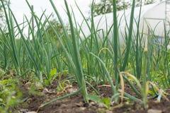 L'oignon vert frais laisse l'élevage dans le jardin Photos libres de droits