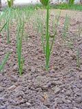 L'oignon vert laisse l'élevage sur des lits de jardin dans le village Photos stock