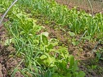 L'oignon vert laisse l'élevage sur des lits de jardin, lit de potager de mélange Images stock