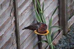 L'oiseau adulte d'étourneau dans un jardin alimentant sur le repas worms photographie stock