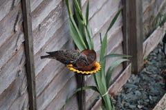 L'oiseau adulte d'étourneau dans un jardin alimentant sur le repas worms image libre de droits