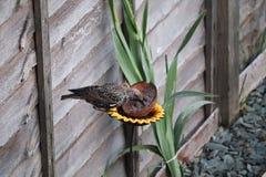 L'oiseau adulte d'étourneau dans un jardin alimentant sur le repas worms photographie stock libre de droits