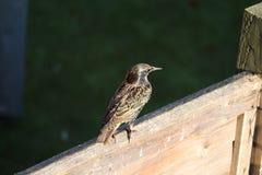 L'oiseau adulte d'étourneau dans un jardin alimentant sur le repas worms photos libres de droits