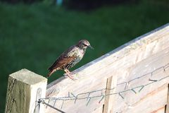 L'oiseau adulte d'étourneau dans un jardin alimentant sur le repas worms photos stock