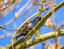 L'oiseau adulte d'étourneau vu était perché sur un arbre sauvage de sycomore situé dans une forêt image libre de droits