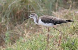 L'oiseau appelé noir-s'est envolé la chasse d'échasse pendant l'été Photo stock