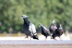 L'oiseau arrogant de pigeon marchant sur un bord de fontaine et les autres s'occupent de lui images libres de droits