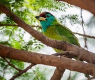 L'oiseau, Barbet Bleu-throated était perché sur une branche d'arbre Photos stock