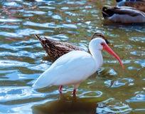 L'oiseau blanc d'IBIS en parc pendant l'automne Photo libre de droits