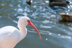 L'oiseau blanc d'IBIS en parc pendant l'automne Photographie stock libre de droits