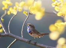 L'oiseau bleu chante au printemps le jardin sur un branc se développant d'arbre image stock