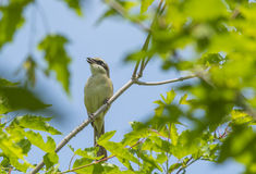 L'oiseau - borlaug Photo libre de droits
