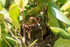 L'oiseau cardinal alimentant à ses bébés dans des oiseaux nichent Images stock