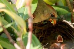 L'oiseau cardinal femelle apporte la nourriture au nid Photos stock