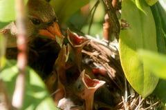 L'oiseau cardinal femelle apporte la nourriture au nid pour alimenter ses trois d Photographie stock libre de droits