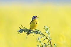 l'oiseau chante sur un pré fleuri jaune lumineux Photos stock
