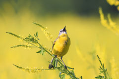 l'oiseau chante sur un pré fleuri jaune lumineux Image stock