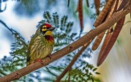 L'oiseau, chaudronnier de cuivre Barbet était perché sur une branche d'arbre Image stock