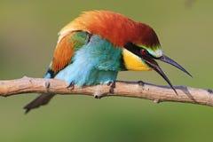 L'oiseau coloré sur une branche crie Photos libres de droits