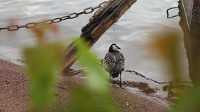 L'oiseau d'eau grand Cormorant avec une patte cassée se tient sur le rivage arénacé banque de vidéos