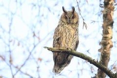 L'oiseau d'otus d'Asio de duc de la proie était perché dans un arbre Photo stock