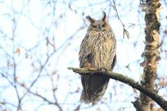 L'oiseau d'otus d'Asio de duc de la proie était perché dans un arbre Photographie stock libre de droits