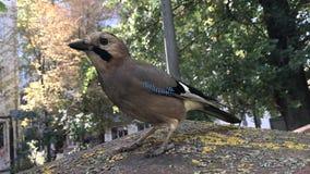 L'oiseau d'oiseau tord sa tête, dans une cour résidentielle banque de vidéos