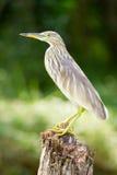 L'oiseau dans la jungle de mares du Kerala Image stock